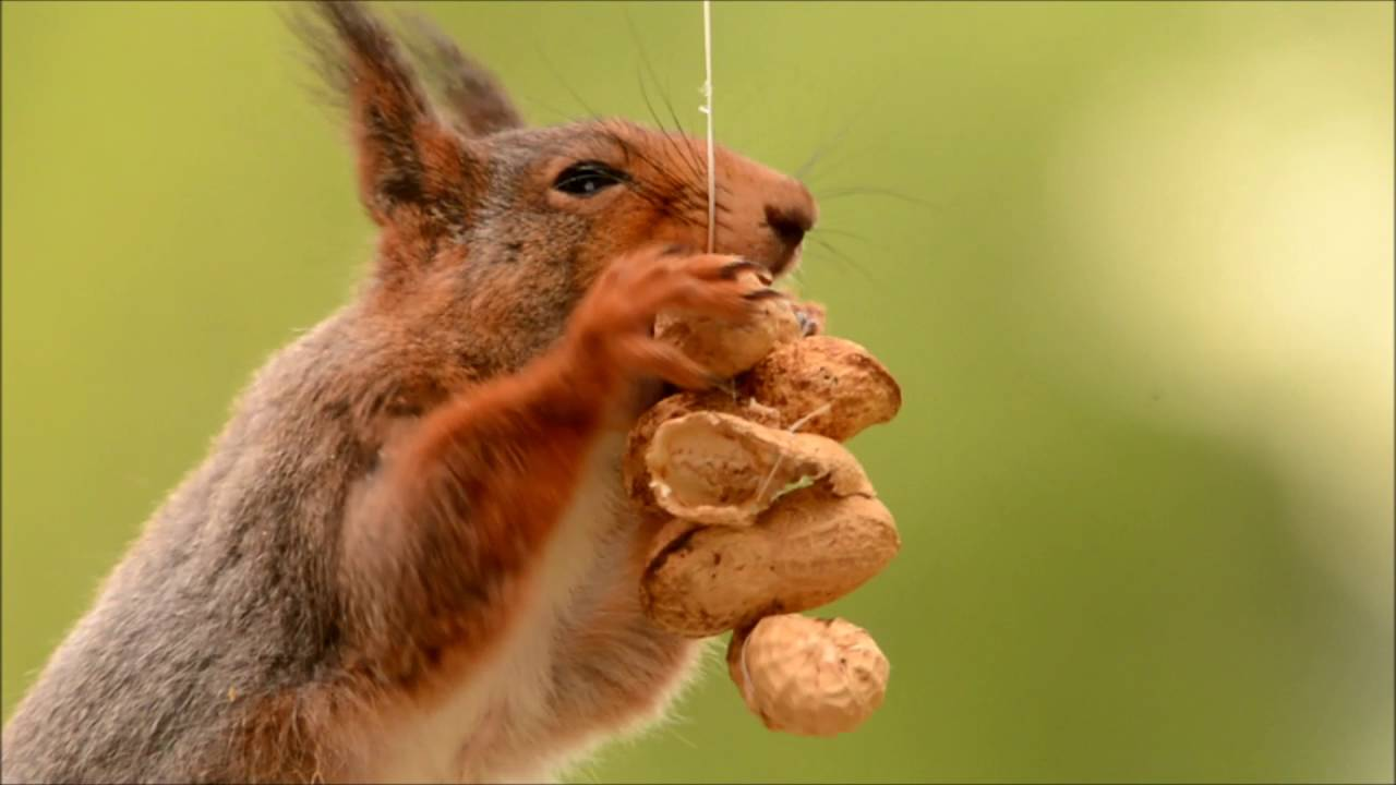 video scenes of red squirrels youtube