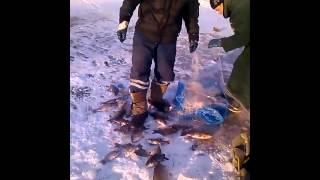 Зимняя рыбалка на реке Амур. Тунгуска. Сазаны и всё такое...