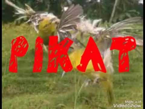 Suara pikat segala jenis burung