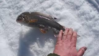 Зимняя рыбалка на хариуса. Щука на мормышку. Хариус на мормышку.