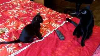 Черный бесстрашный котенок гоняет взрослую кошку