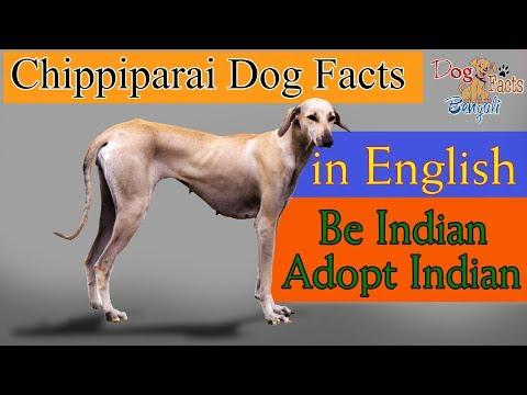 Chippiparai Dog Facts in English   Kanni Dog Facts in English   Indian Dogs Dog Facts in English