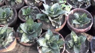 Garden Nursery Plants | Plant and Tree Nursery | Local Plant Nursery (Urdu/hindi)