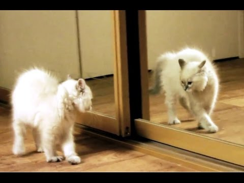'Kittens Discovering Mirrors for the First Time Compilation' || CFS