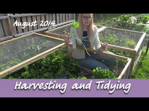 Katie's Allotment - August 2014 - Harvesting and Tidying