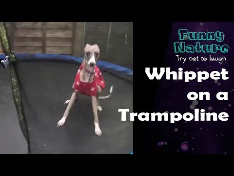 Crazy Dog Jumping on Trampoline 2017 - FunnyNature