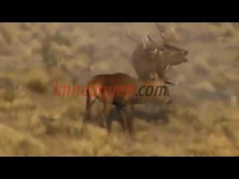 Mirá la espectacular pelea entre dos ciervos colorados