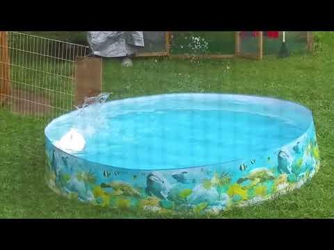 Joey the Jumbo Pekin hunting fish in a pool