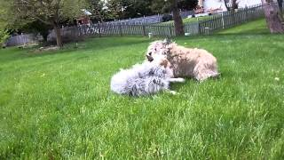 Blue Heeler Mix & Cairn Terrier Playing