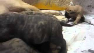 Bullmastiff Bluebel's babbies ( 18 days old ) 20110806_1.mp4.
