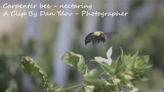 A Carpenter Bee - The most amazing insect in our eco system