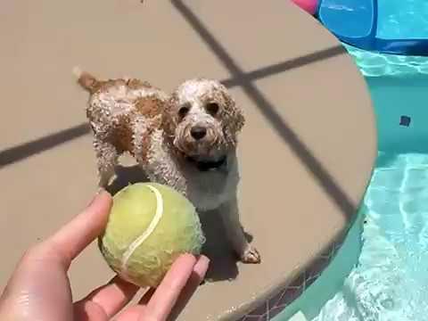 Ripley Cockapoo The Swimming Fetching Jumping Pool Dog