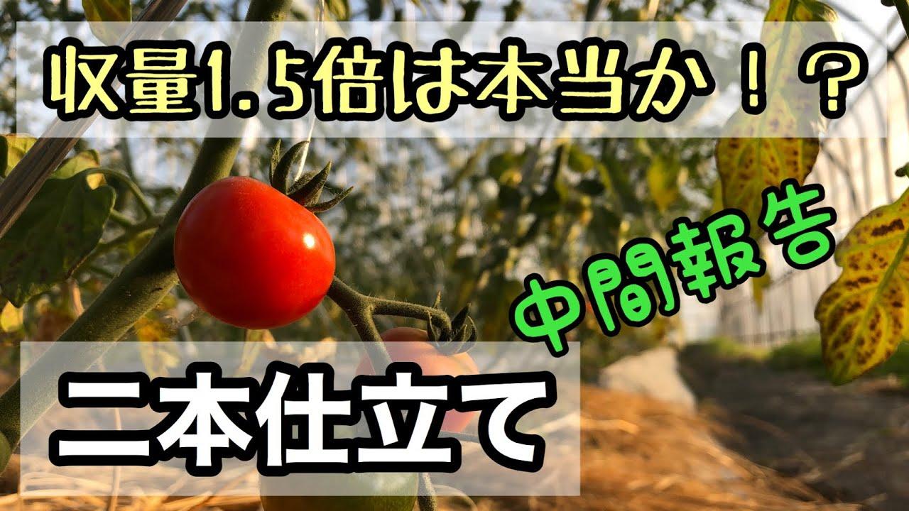 仕立て 2 本 ミニ トマト