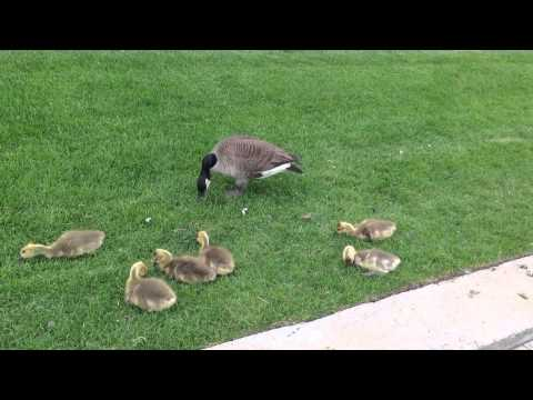 Canada Geese mom