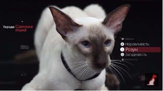 Сиамская кошка ➠ Узнайте все о породе котов