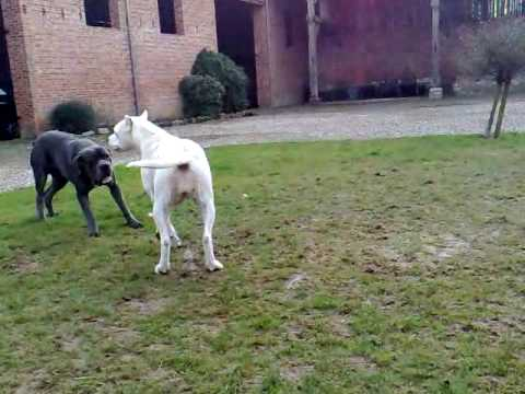 Cane Corso Vs Dogue Argentin Dogo Argentino Youtube