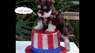 Texas T's Toy Schnauzer Puppies- Fourth Of July Celebration