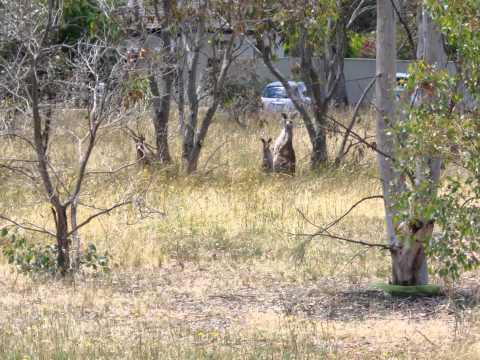 Kangaroos in Canberra.