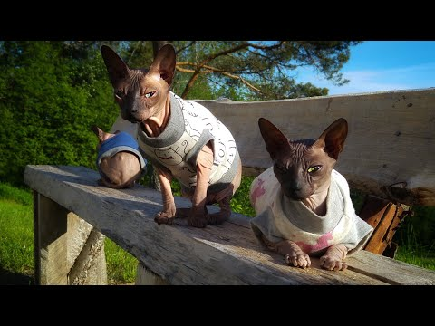 Sphynx cats family enjoying the time outside / DonSphynx /