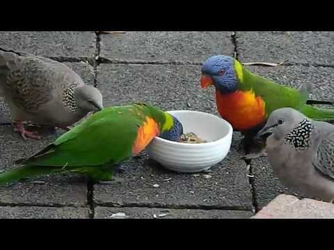 How Rainbow Lorikeet and Spotted Dove fight for the same feed in a sydney backyard