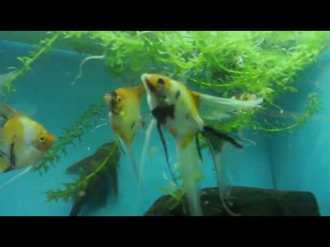 How to give a fish a methy blue bath to stop visible infections