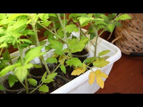 Почему желтеют листья у рассады томатов?  Чем подкормить