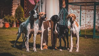 International Champion Blood Line Pointer Dogs  Dog Facts About Pointers