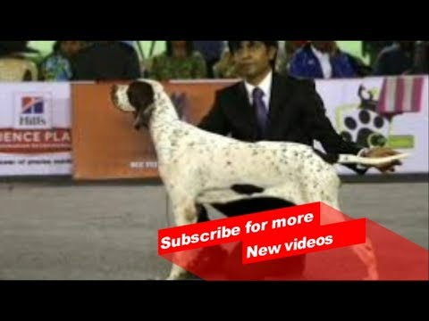 Wow ! Most Amazing dog breeds worldwide | Pointer |