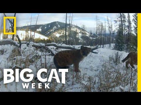 Baby Cougars On The Brink | Big Cat Week