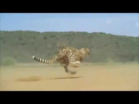 Cheetah Running Full Speed Awesome Speed