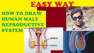 HOW TO DRAW MALE REPRODUCTIVE SYSTEM (HUMAN)