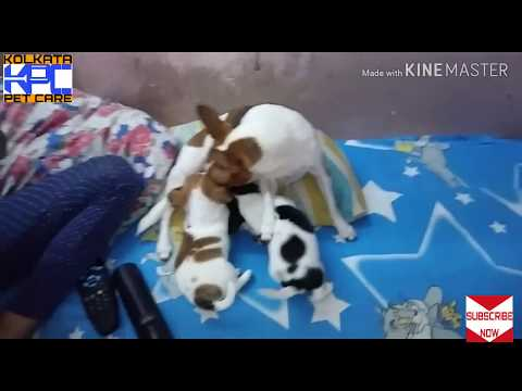 Chihuahua dog price in india/Chihuahua dog sale/KOLKATA PET CARE