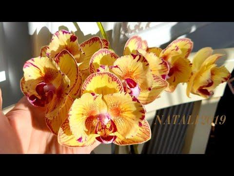 Массовое цветение моих редких орхидей бабочек