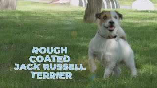 Rough Coated Jack Russell Terrier Dog Breed Information