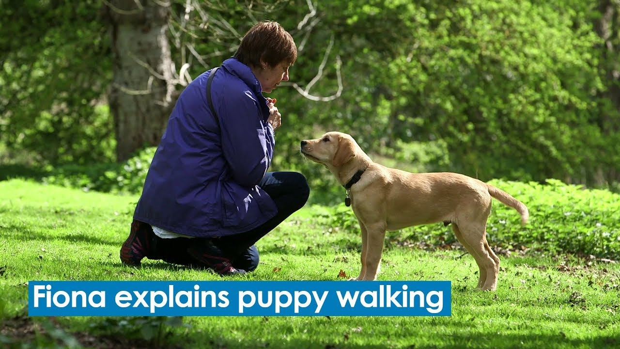 Volunteer To Be A Guide Dogs Puppy Walker │ Guide Dogs
