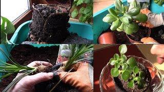 Комнатные растения.  Большая пересадка растений в хорошие дни по лунному календарю