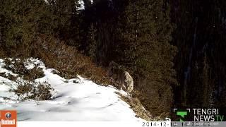 Снежных барсов, кабанов и диких козлов сняли фотоловушки в Казахстане