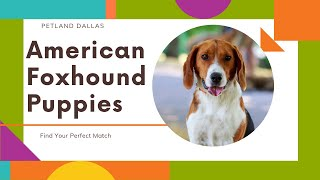 Fun Facts About American Foxhound Puppies