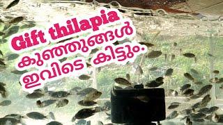 മീൻ വളർത്തൽ /Gift Thilapia/Gift Thilapia seed/Gift Thilapia Cultivation in Kerala/Fish Cultivation