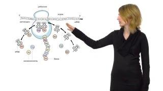 Синтез белка. Решение генетических задач - 2