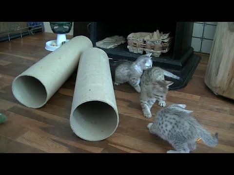 Egyptian Mau kittens 2014, 5 weeks old. Cattery Asenka