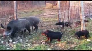 Slovacki kopov štenci stari 4 mjeseca, prvi susret sa divljim svinjama