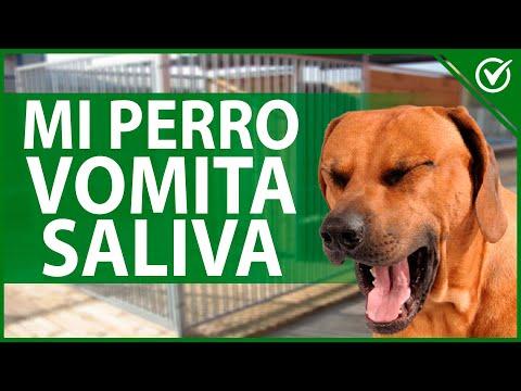 ¿Por qué mi Perro 🐶 Tiene Arcadas y Vomita Saliva y Espuma Blanca por la boca? 🐶 ¿Qué le Puedo dar?