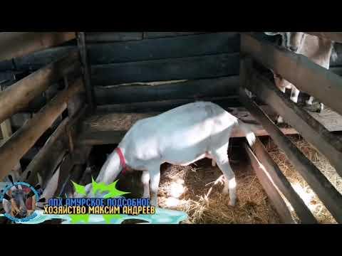 Вопрос: Если коза огулялась увеличивается ли удои молока?