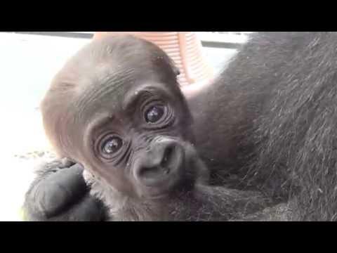Meet Amani, Philadelphia Zoo's Newborn Gorilla