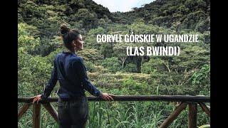 Goryle w Ugandzie (Las Bwindi)
