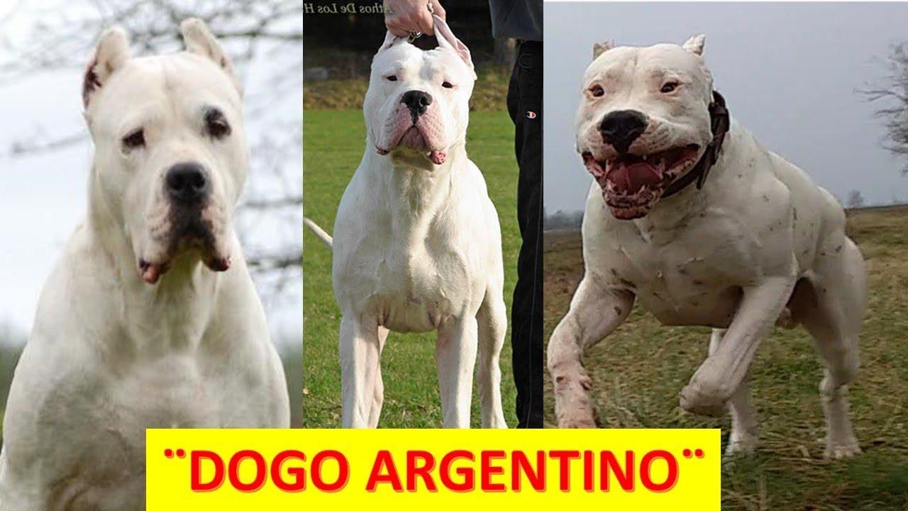 P de perros Dogo argentino Mascota o NO - YouTube