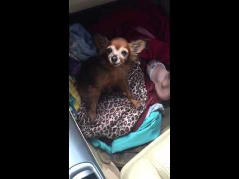 Tiny dog talks and sneezes cartoon style