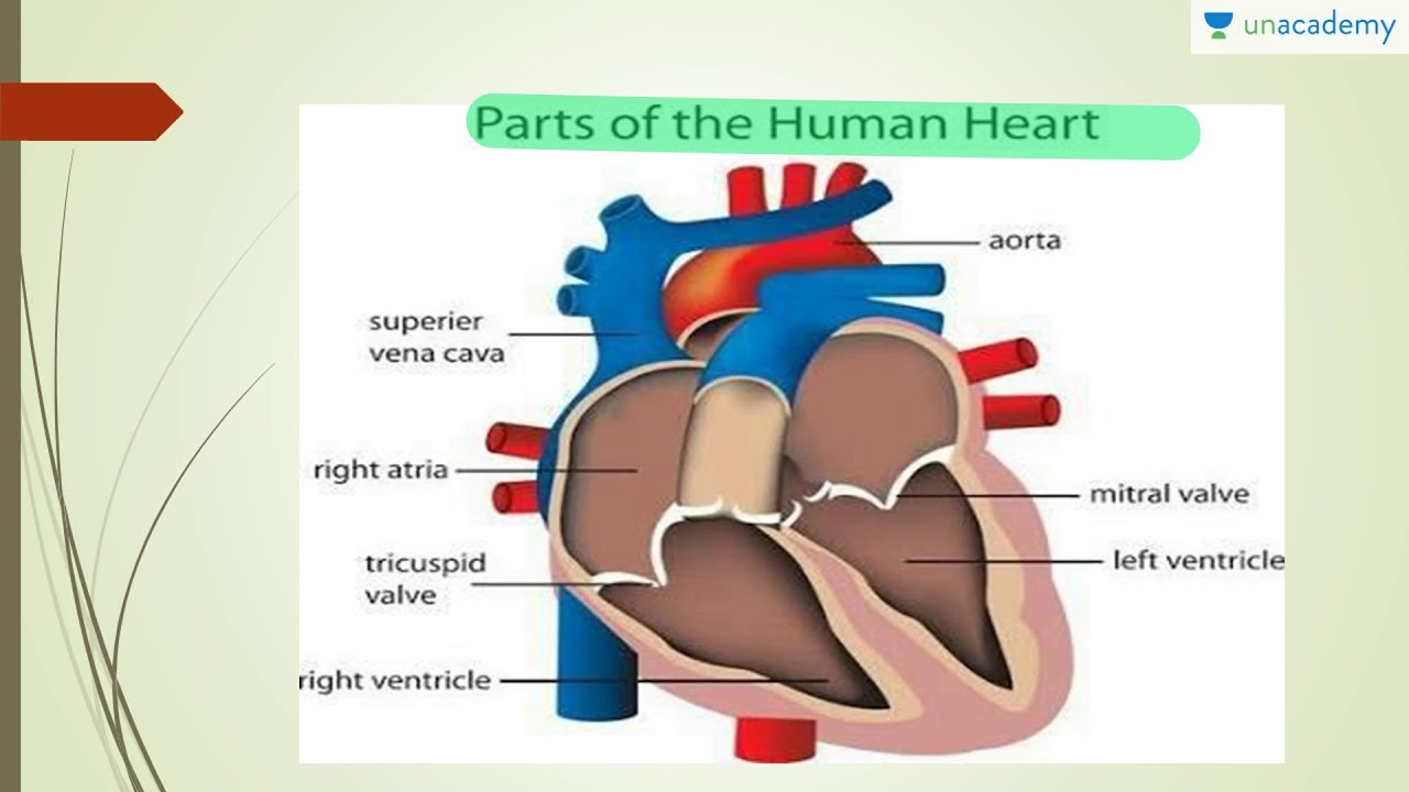 Human Anatomy Everything About A Human Heart Youtube