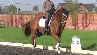Sold***7 -8 y old dressage inter1 level gelding by Weltmeyer-Matcho xx for sale